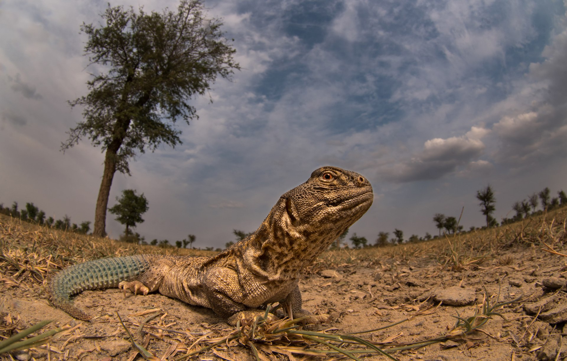 Meet Spiny, the Only Herbivorous Lizard Species in India