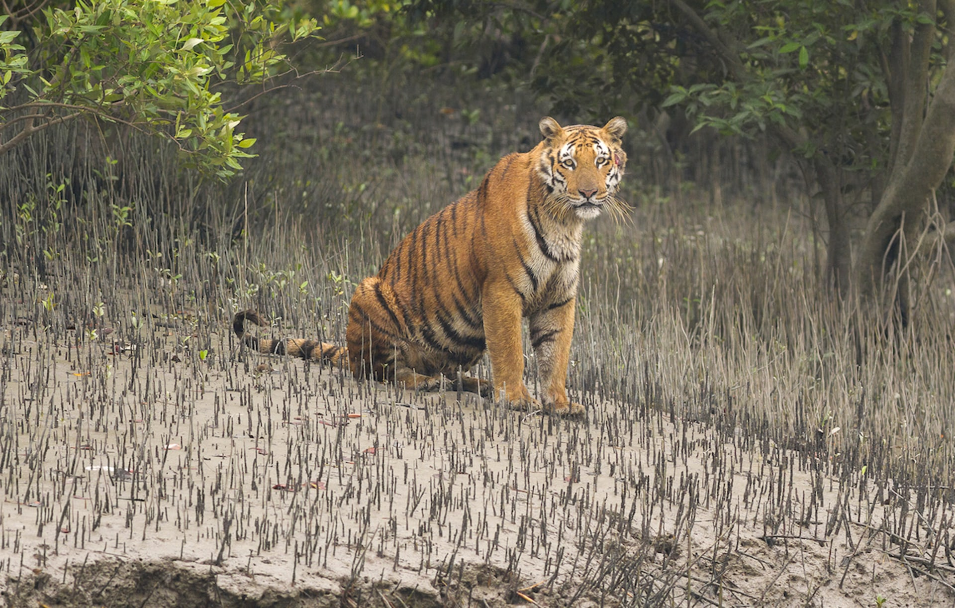 In the Sundarbans, the Bengal Tiger is Always Watching You