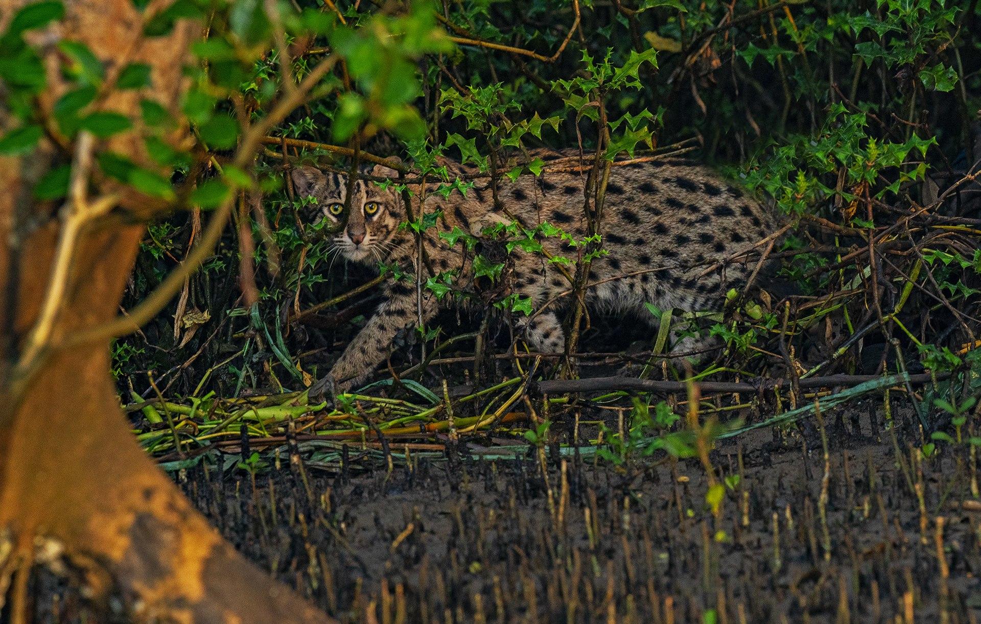 Hunter Among the Mangroves: The Fishing Cats of Coringa
