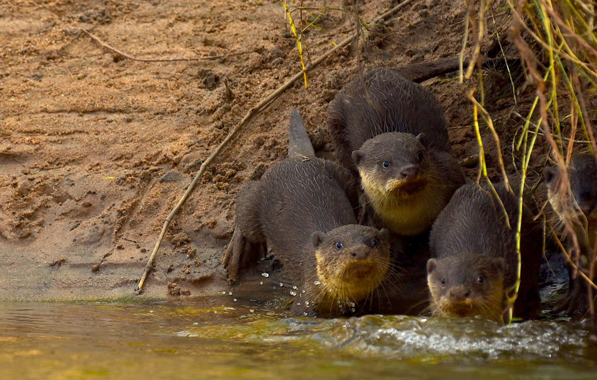 Smooth-coated otters: Slick Operators of Coringa