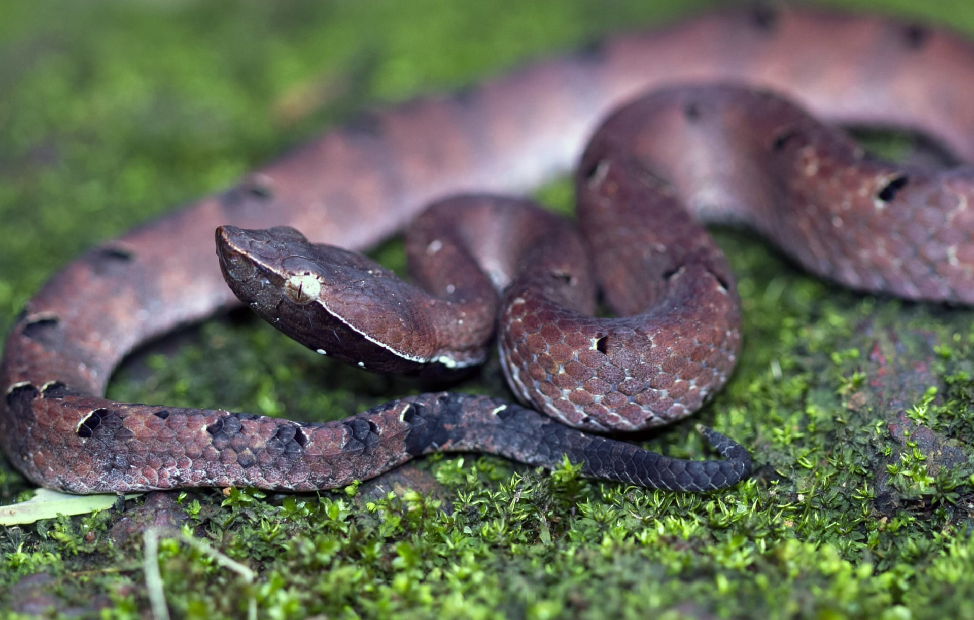Hump-nosed Pit Viper: Gem on the Forest Floor