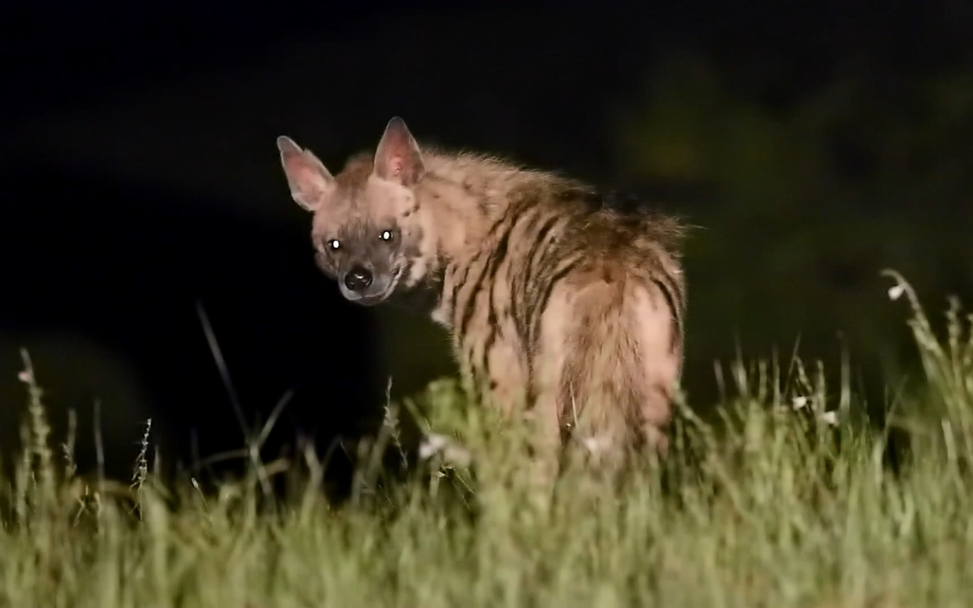 The Dark Knights: How Hyenas Protect our Ecosystems