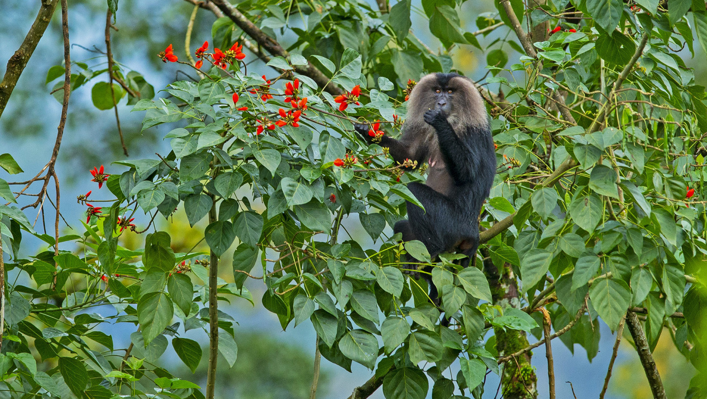 Lion Tailed Macaque: Acrobats of the Upper Canopy