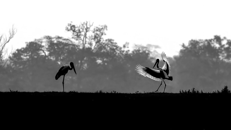 Black-necked Stork: Silent Resident of the Marshes