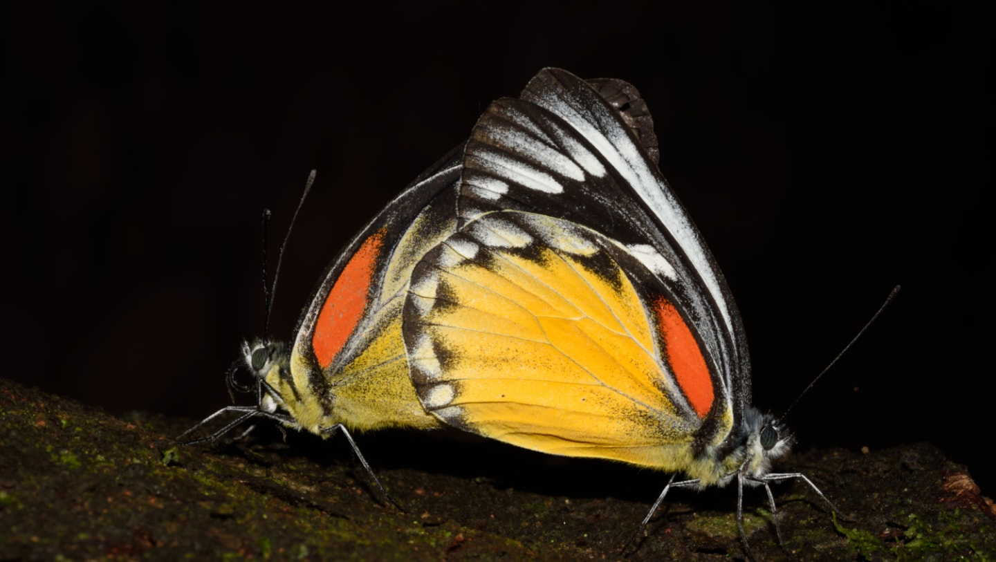 Here's why Birds Avoid the Red-spot Jezebel Butterfly