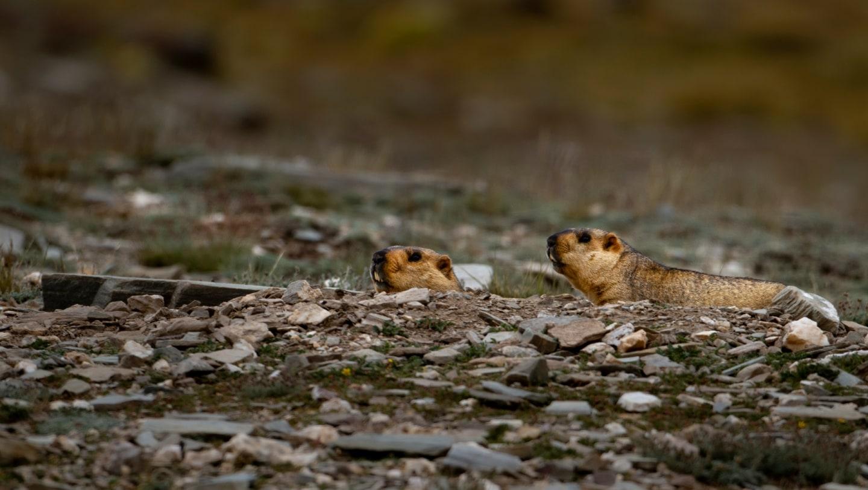 Himalayan Marmots: Sharp Sentinels on the Mountain High