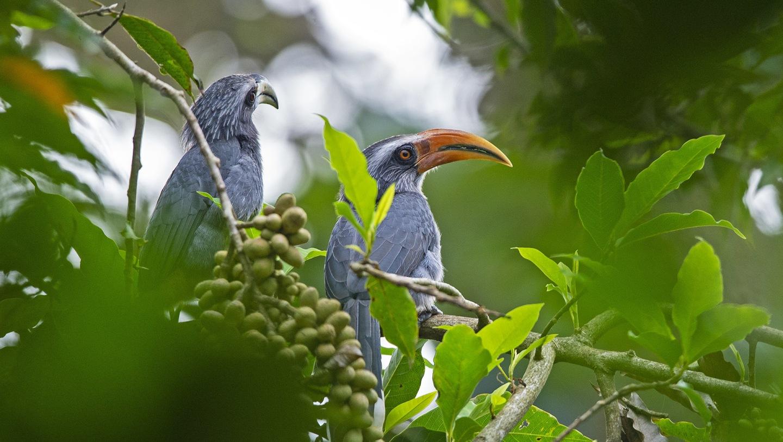 Malabar Grey Hornbills: Gardeners of the Rainforest