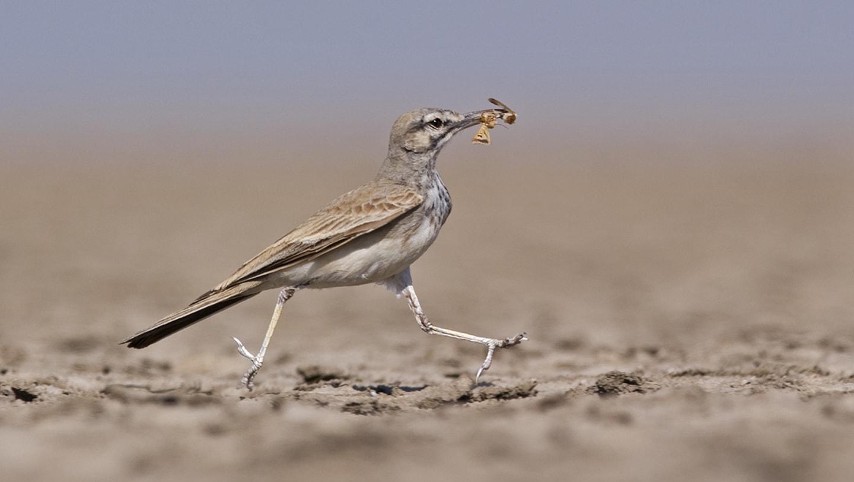 The Trickster of the Desert: Greater Hoopoe Lark