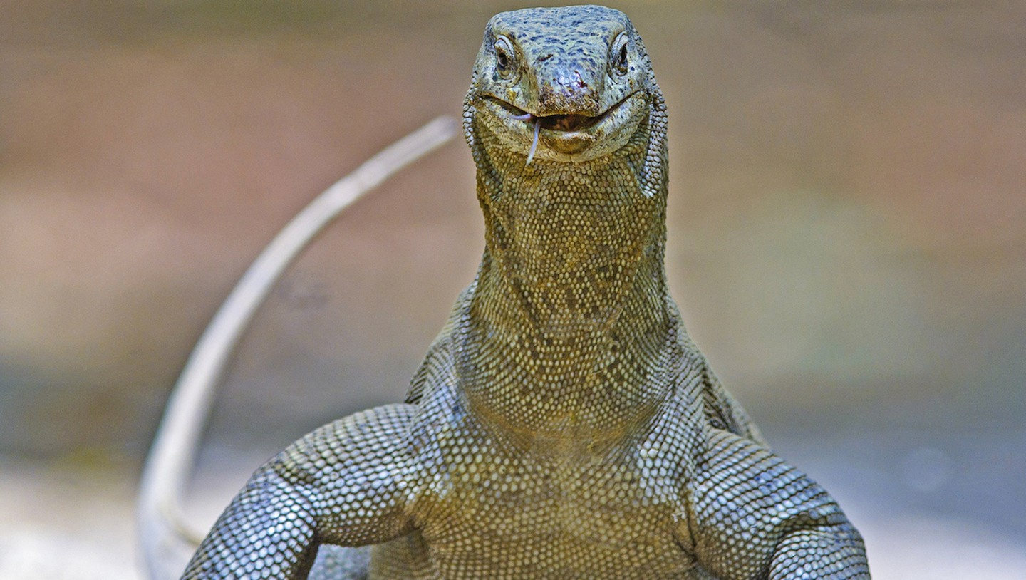 Of Forked Tongues and Scaling Fort Walls: Story of the Bengal Monitor Lizard