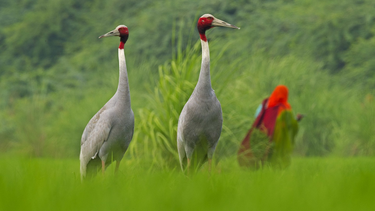 A Lifetime of Love: The Romance of the Sarus Cranes