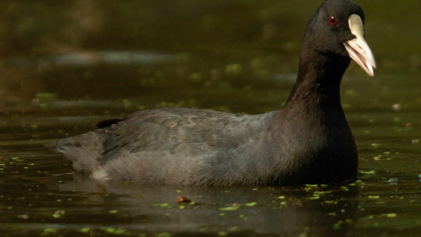 A Tux and a Dance: A Day in the Life of the Common Coot