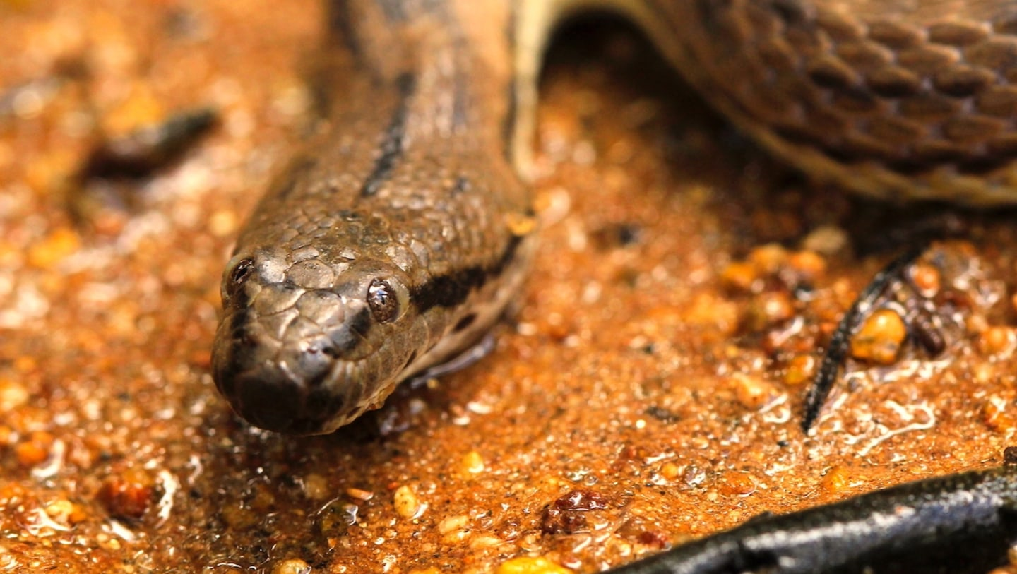 Dog-faced Water Snake: Sludge and Salt in the Intertidal Zone