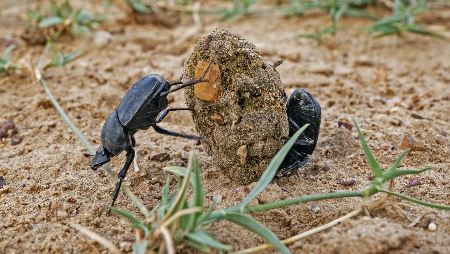 Dung Beetles: The Little Things That Run the World