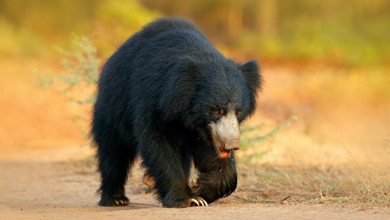 Raiders of the Anthill: Sloth Bears of Kumbhalgarh