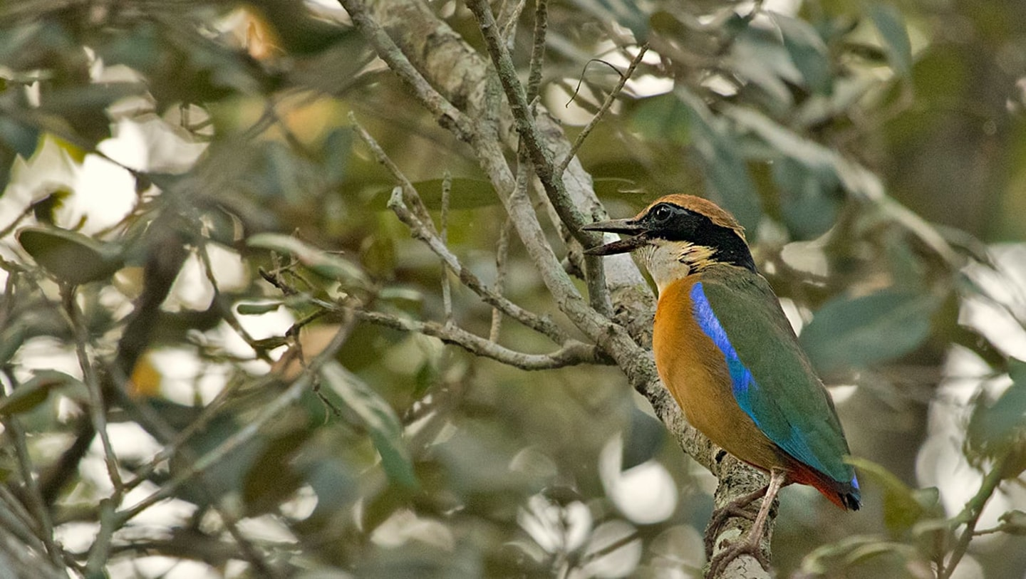 The Mangrove Pitta: A Blue Streak in the Mud
