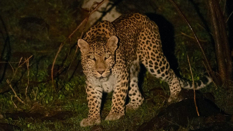 Dark Side: Spotting a Leopard in Panna Tiger Reserve