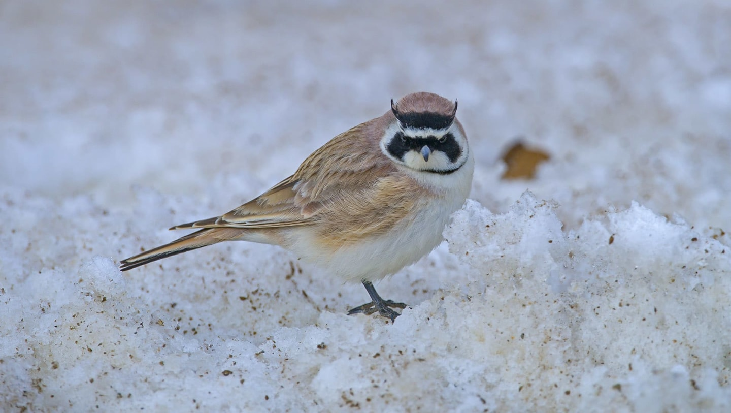 Horned Lark: The Crazy Bird and its Crazy Nest