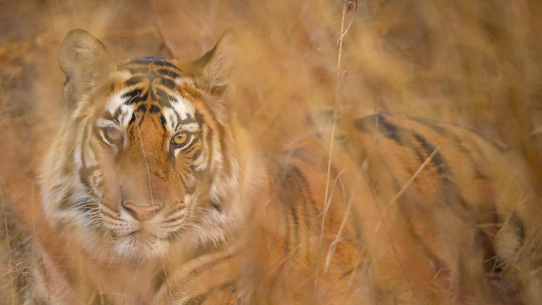 Bold and Beautiful: Panna's Glorious Tigers
