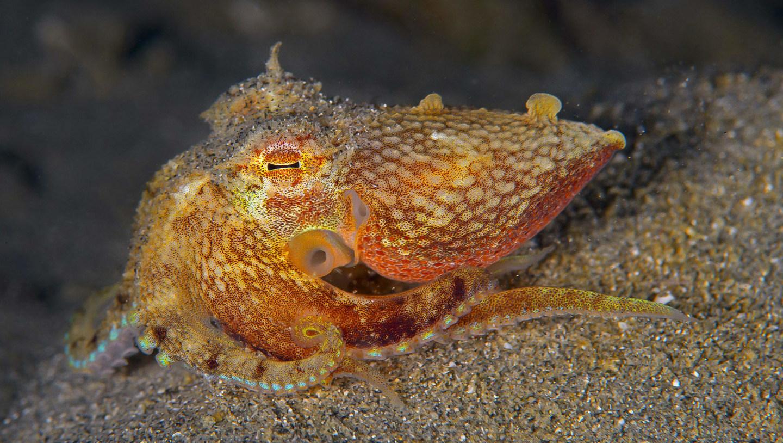 The Genius Octopus: Programmed to Deceive