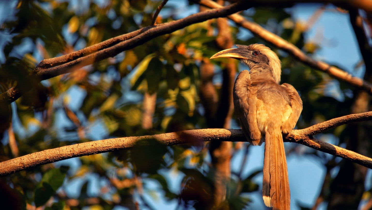 Indian Grey Hornbill: Unsung Hero of Urban Forests