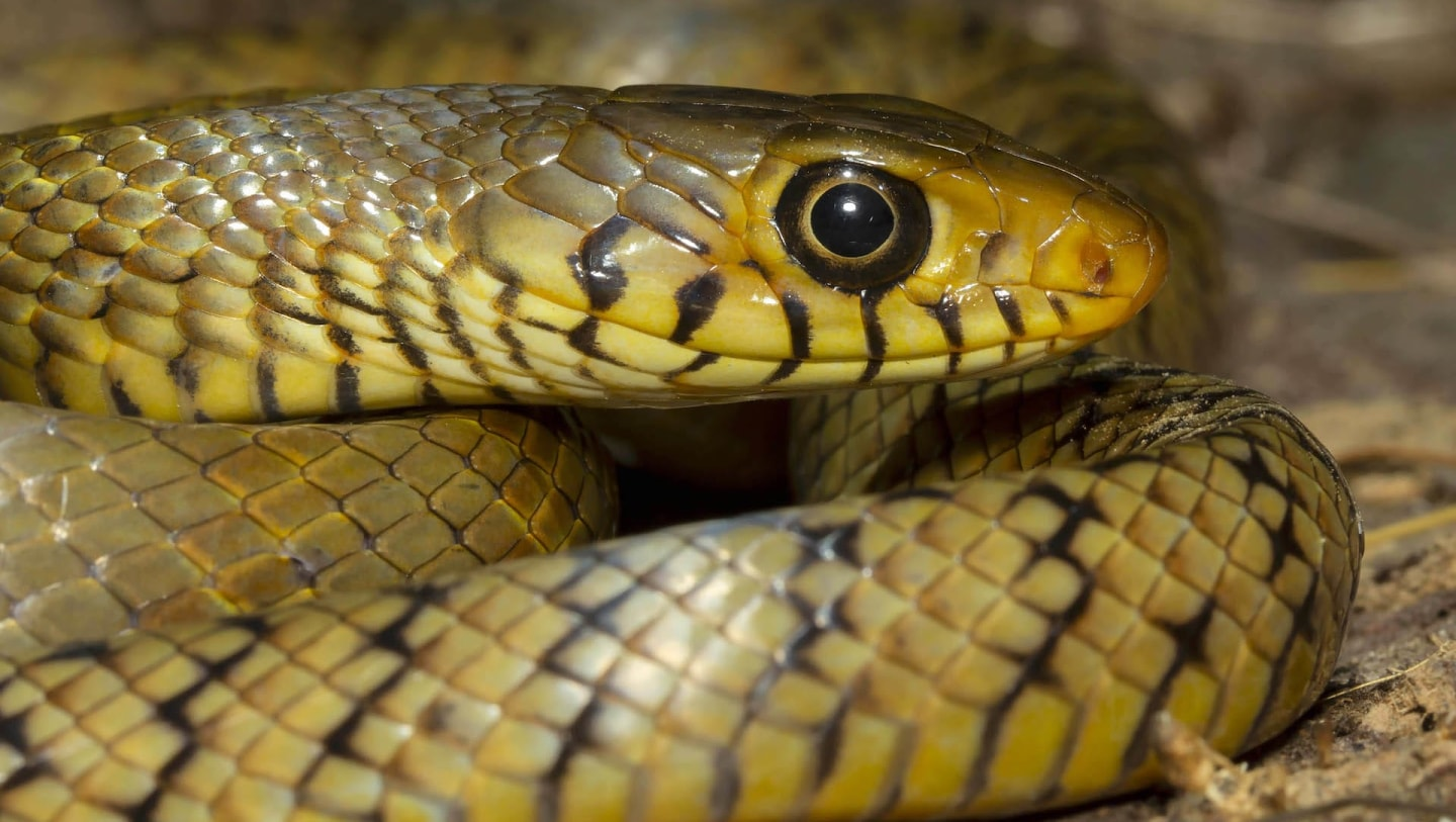Indian Rat Snake: Nature's Own Pest Control