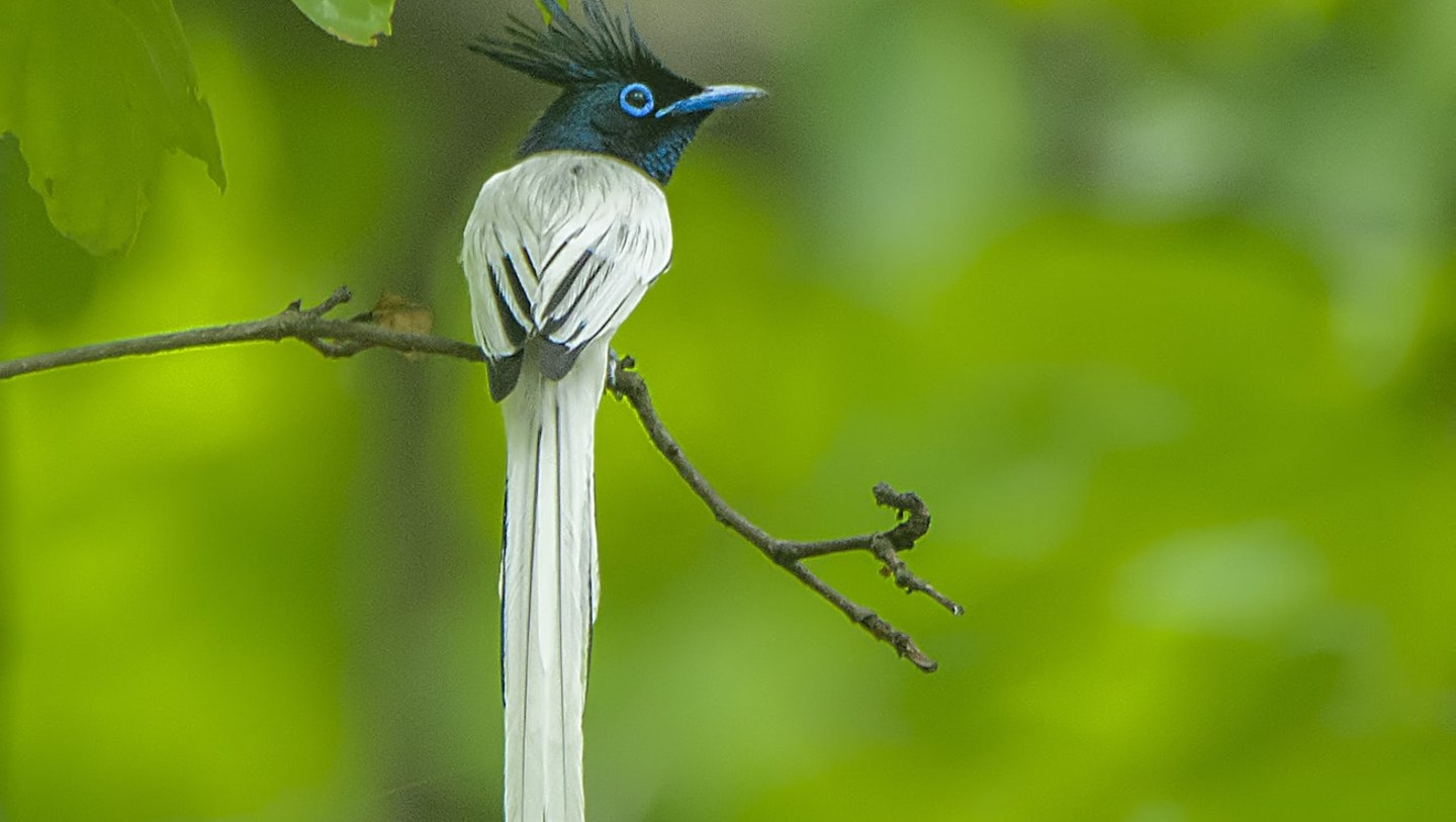 Indian Paradise Flycatcher: Flash Dance of the Glam King