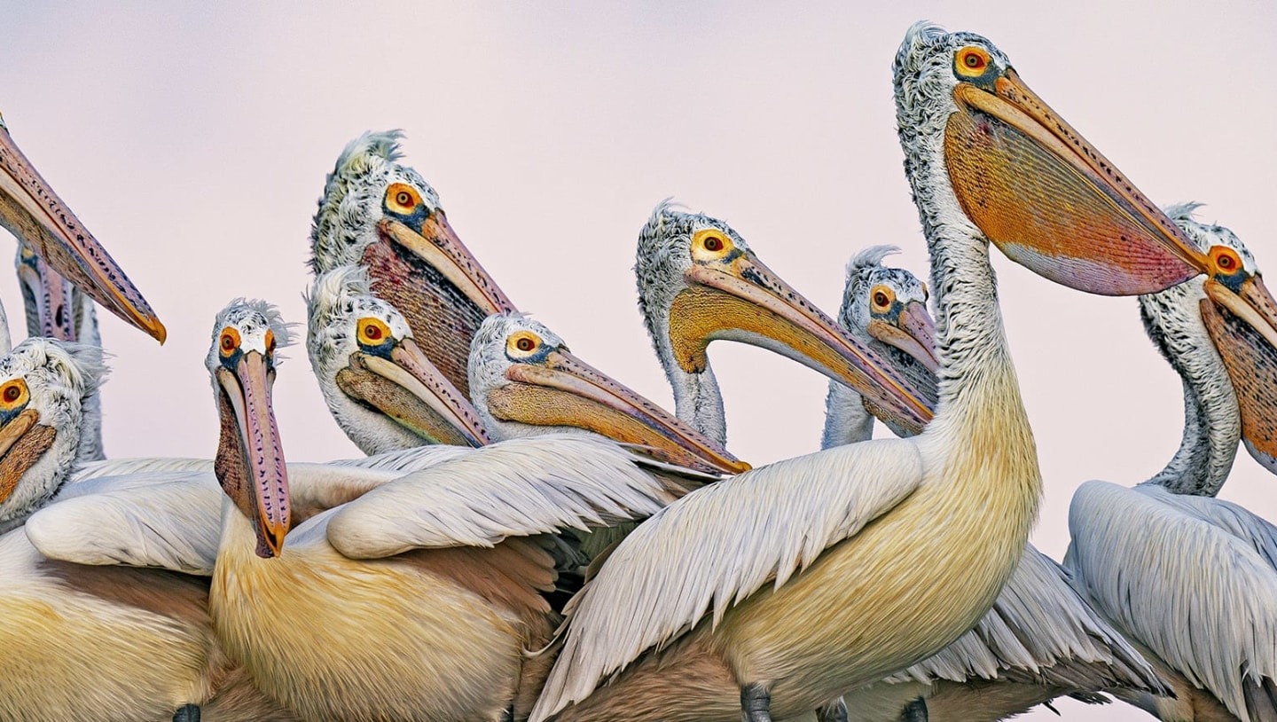 Peculiar Pelicans: Gawky, Grand and Graceful Waterbirds