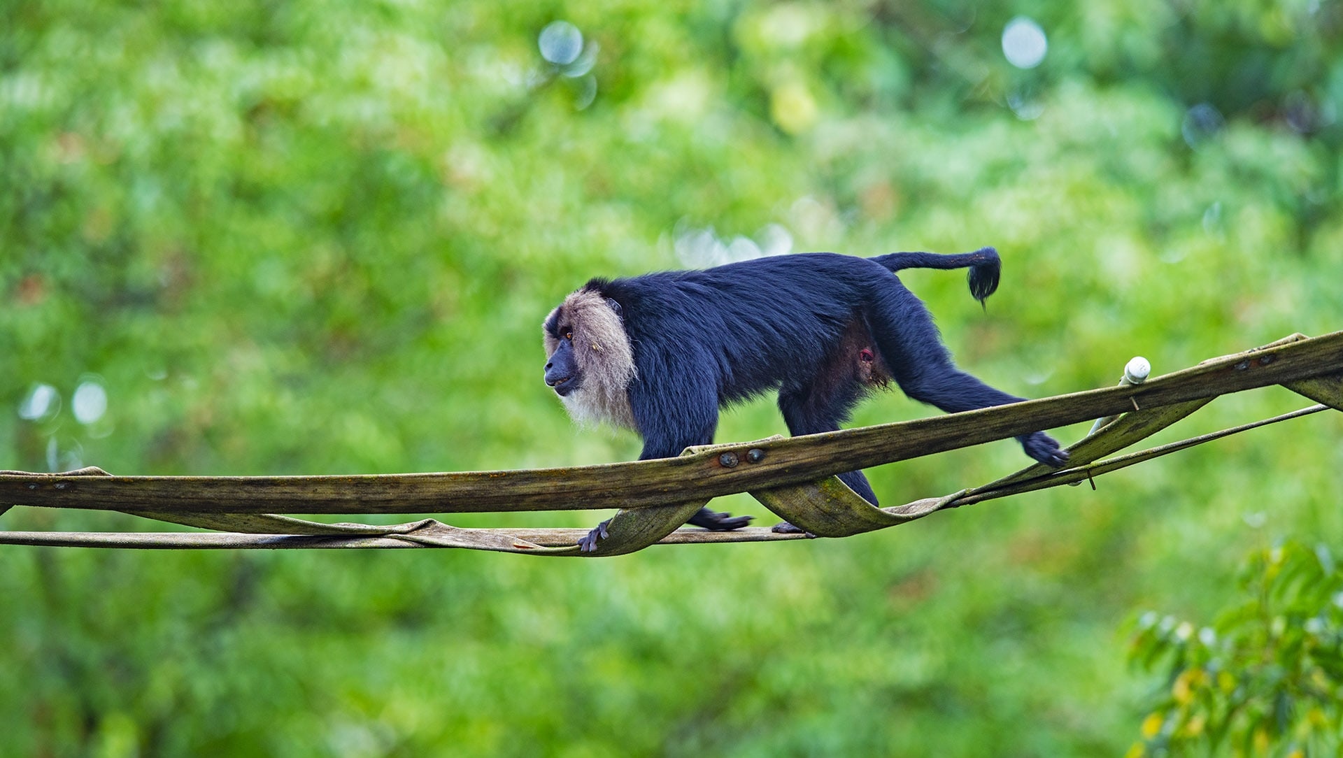 Saving the Lion-Tailed Macaque, One Step at a Time