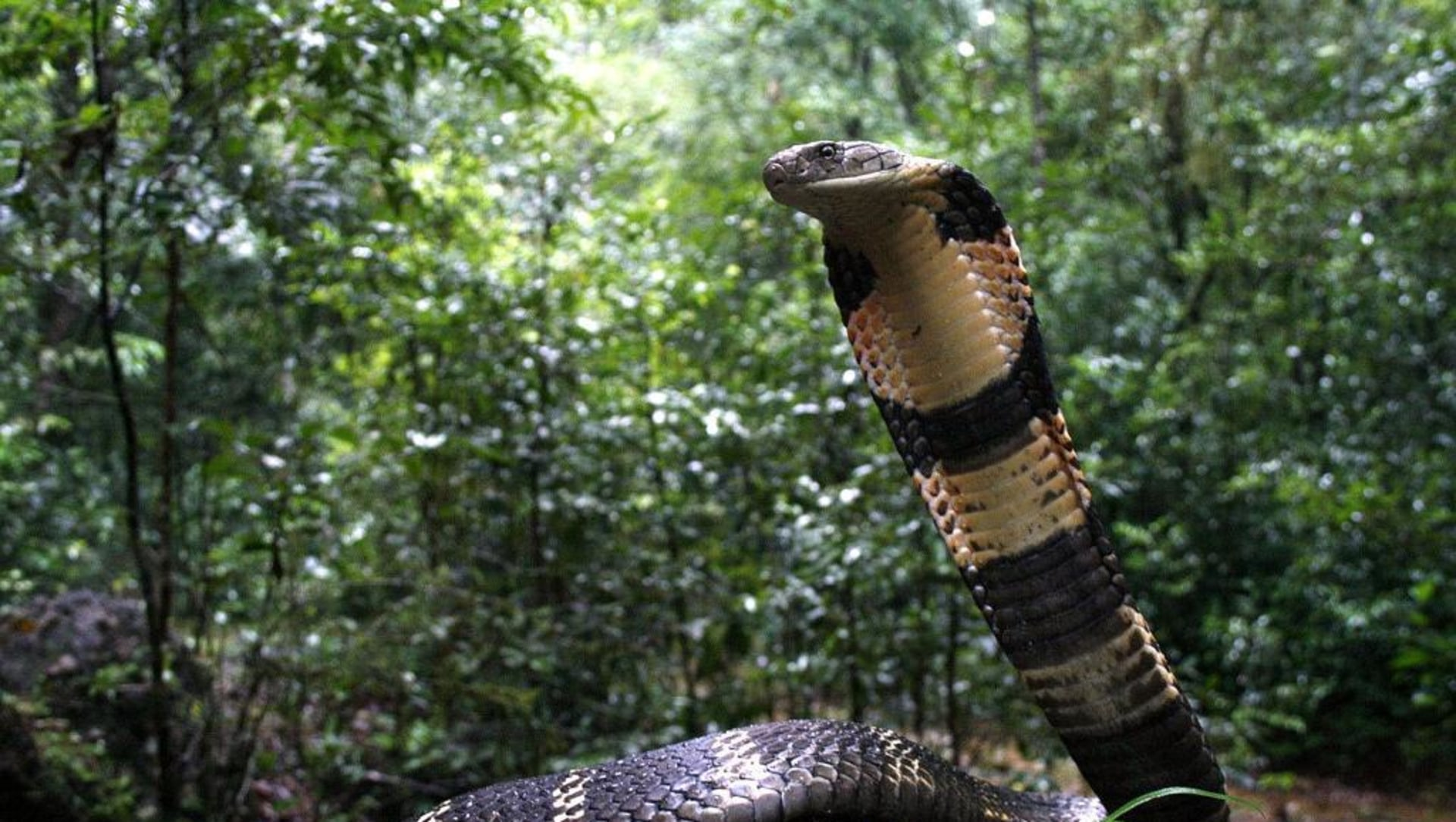 Anatomy of a King Cobra Rescue in Agumbe