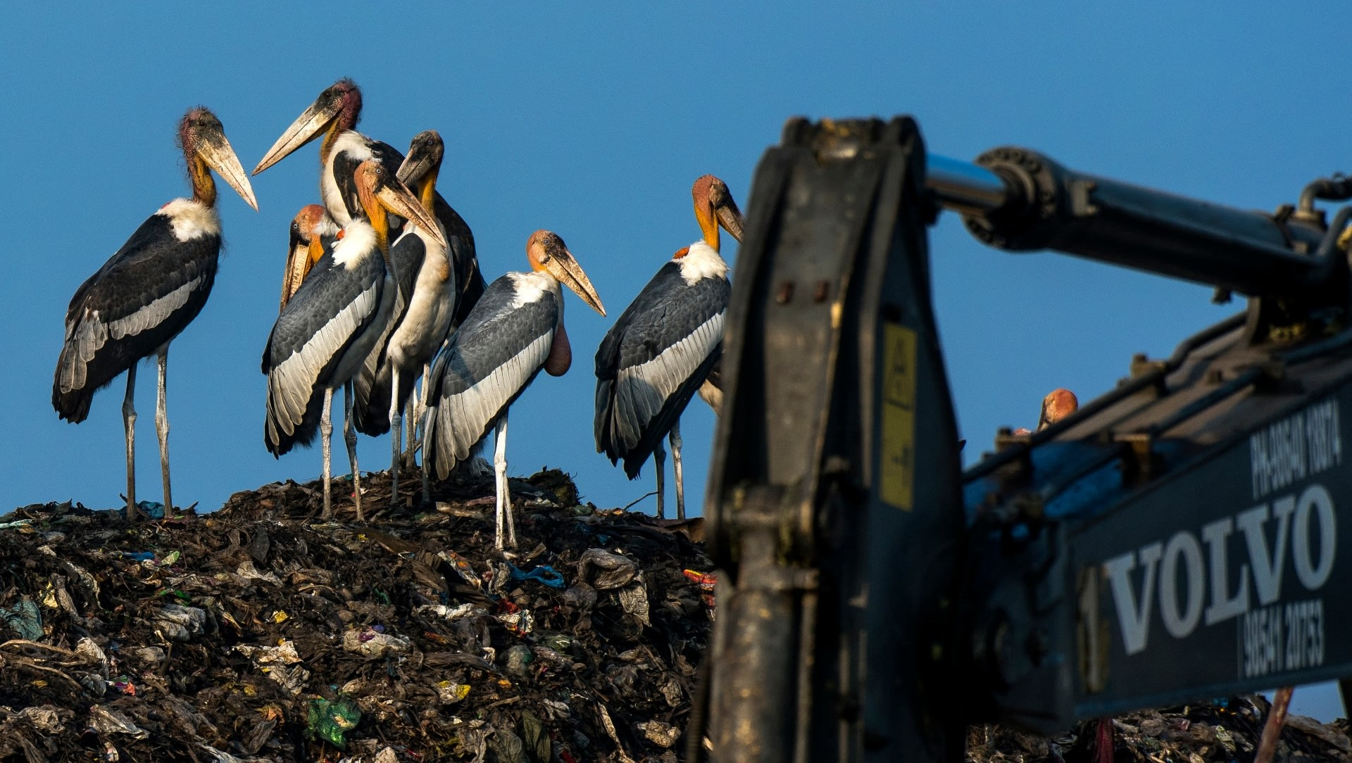 Trash is on the Menu for the Critically Endangered Greater Adjutant