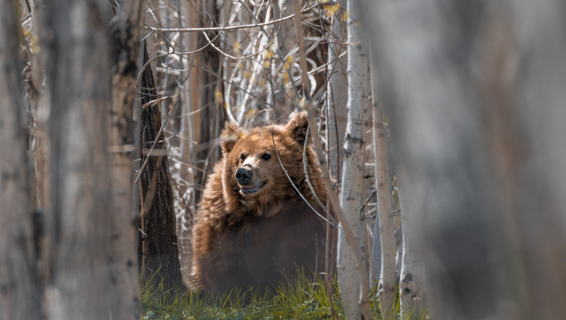Rocky Road: Change is in the Air for the Himalayan Brown Bear