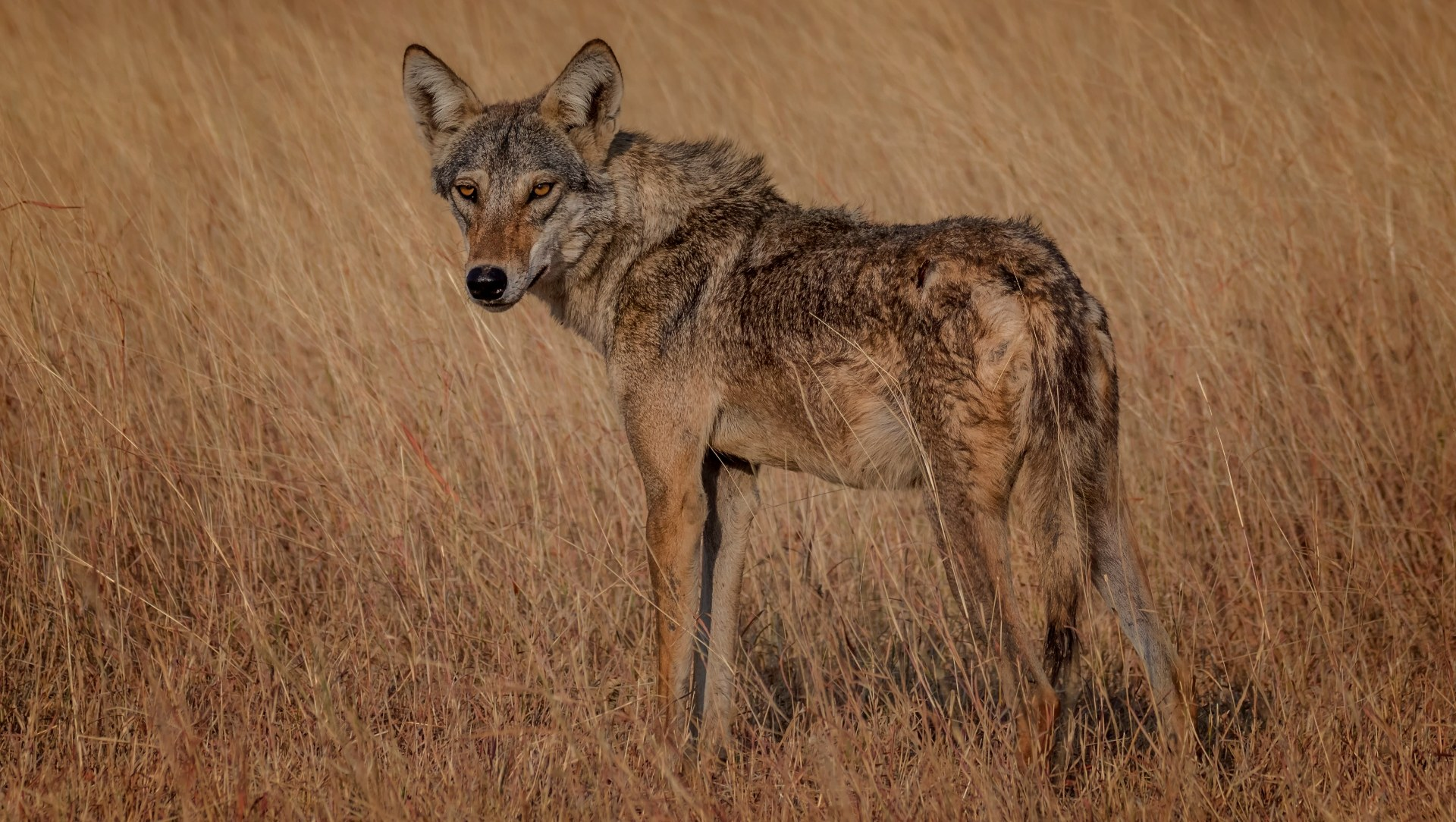 The Indian Grey Wolf is in Need of Greater Protection
