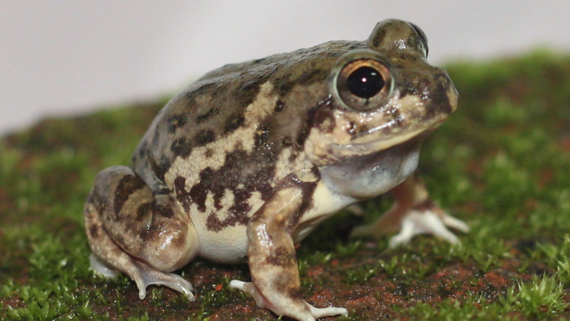 Magadha Burrowing Frog: Resident of Farms