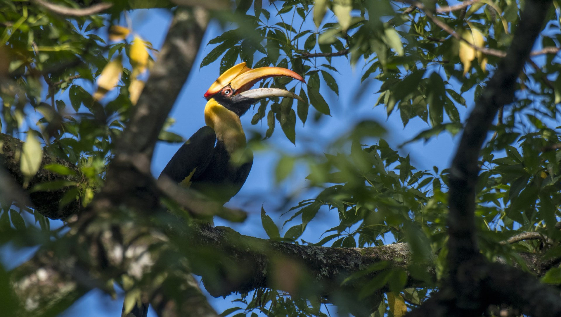 Home Alone: Nesting Curiosities of the Great Hornbill