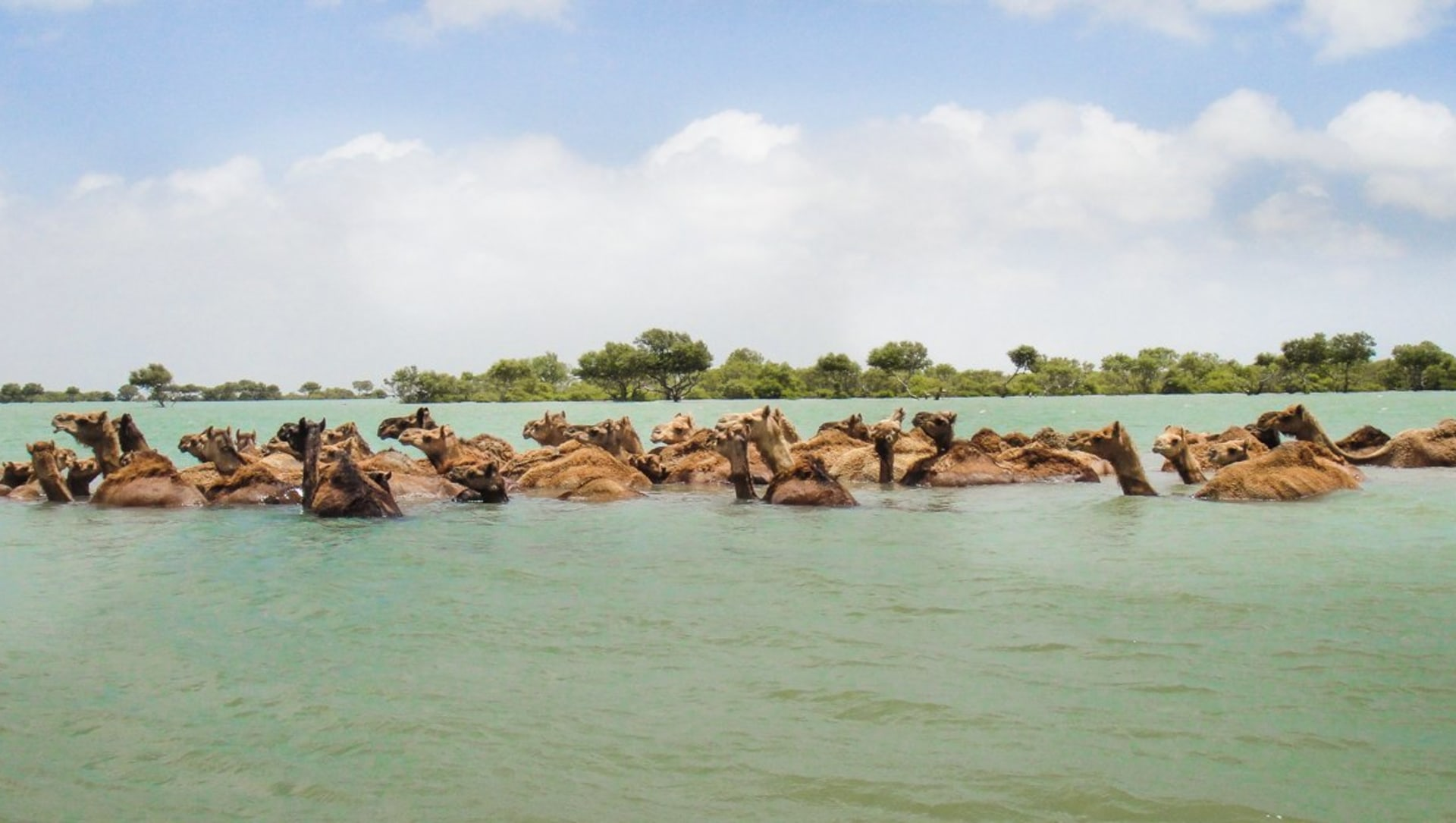 The swimming camels of Kutch