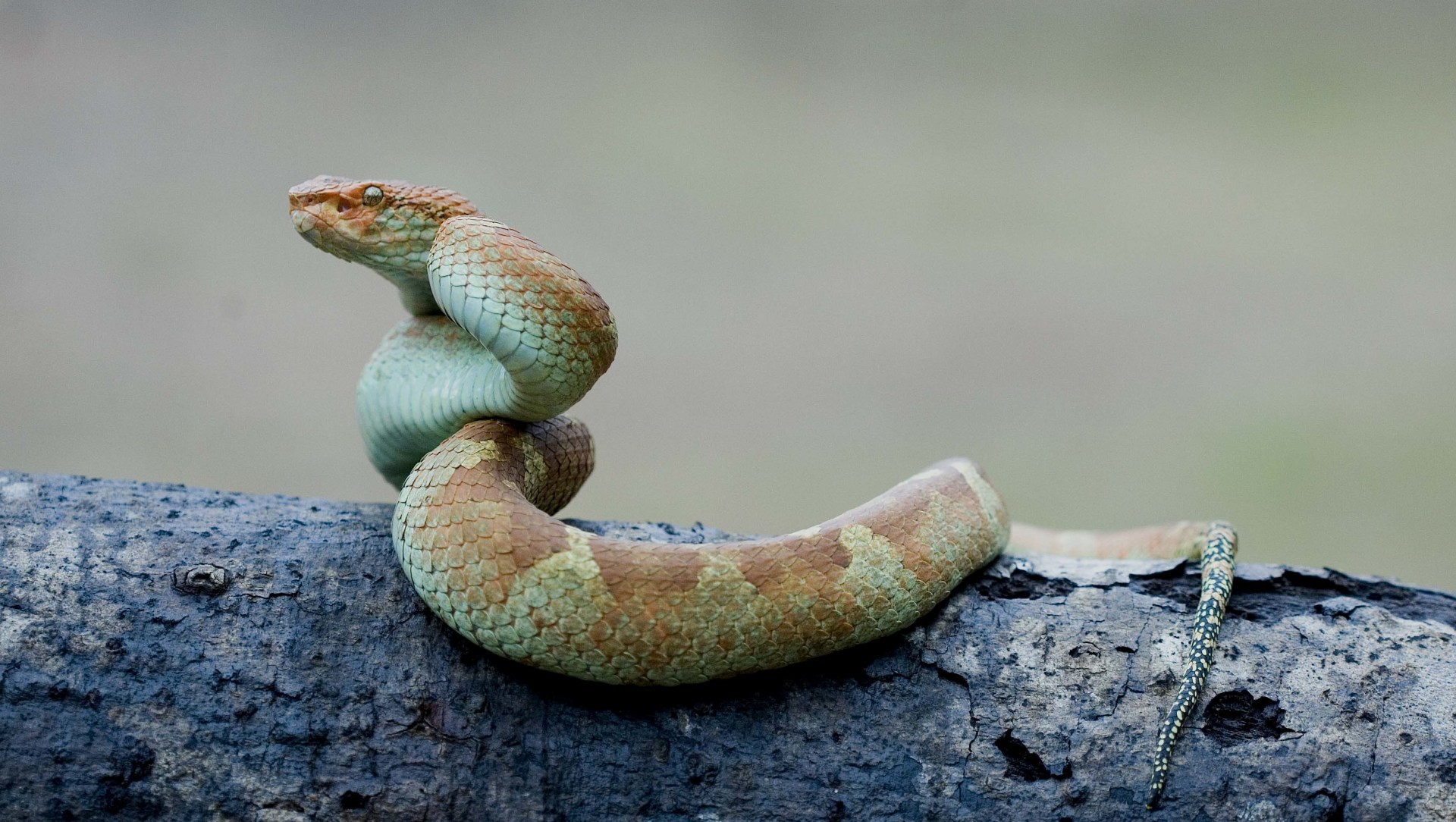 Wardens of Venom: The Exquisite Vipers of South India