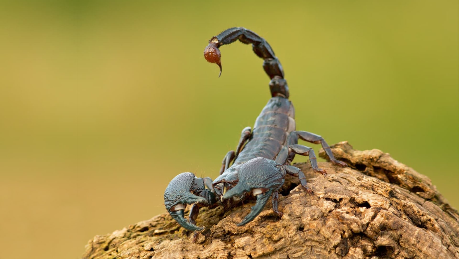 The Curious Case of the Scorpion in the Night-time
