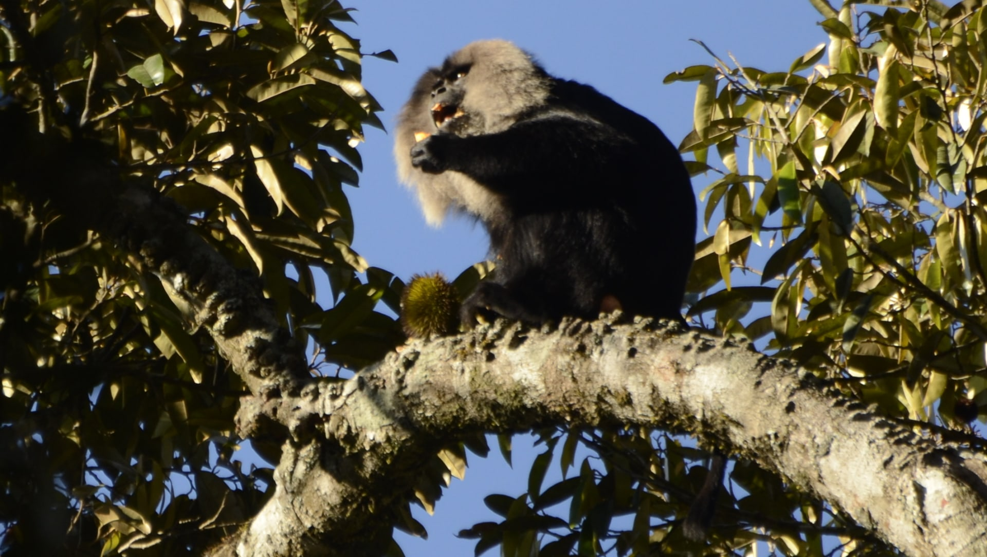 Pushed to The Edge: Lion-tailed Macaques and the Case of Disappearing Forests