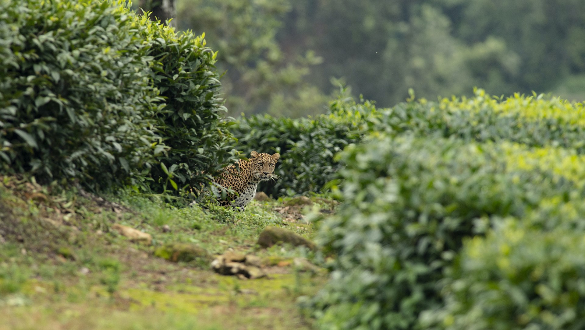Conflict and Coexistence: Leopards and the Residents of Valparai