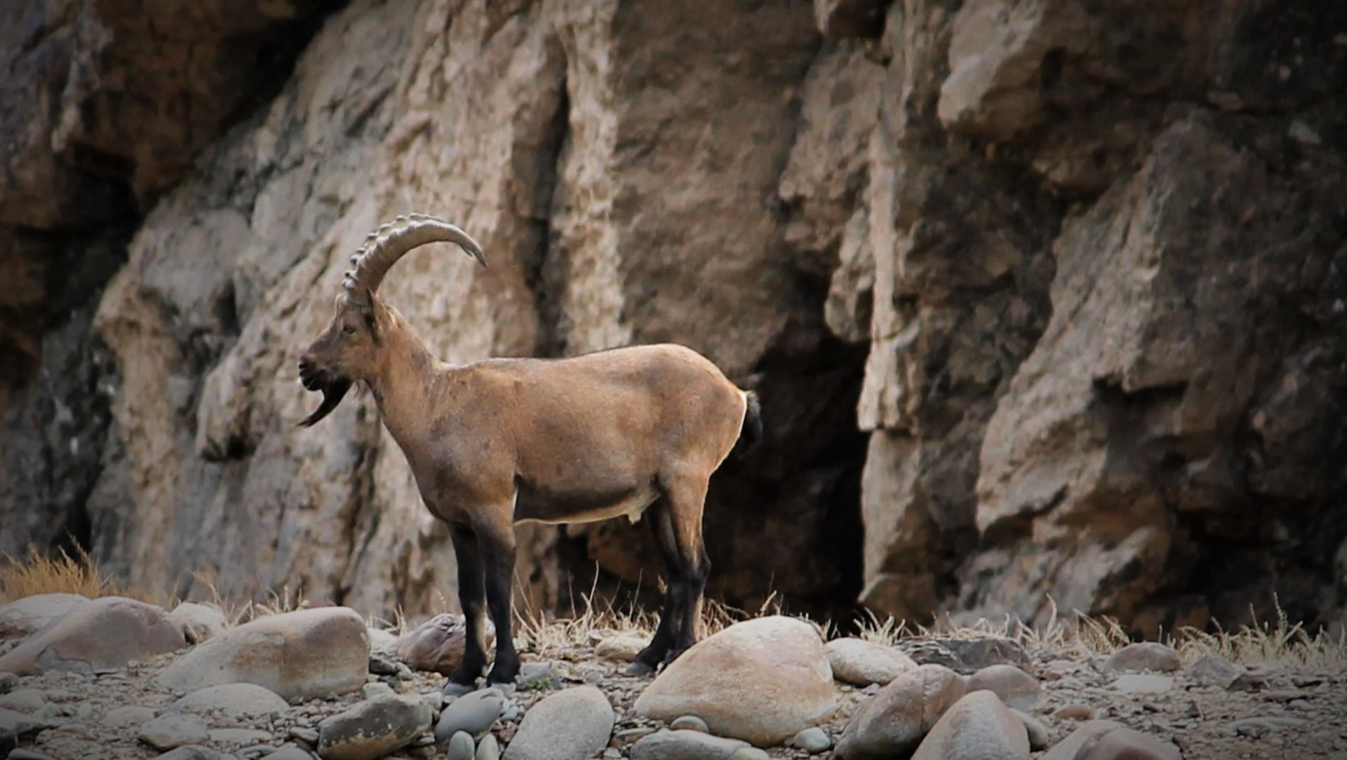 How Village Folklore Helps Conserve the Ibex of Pin Valley