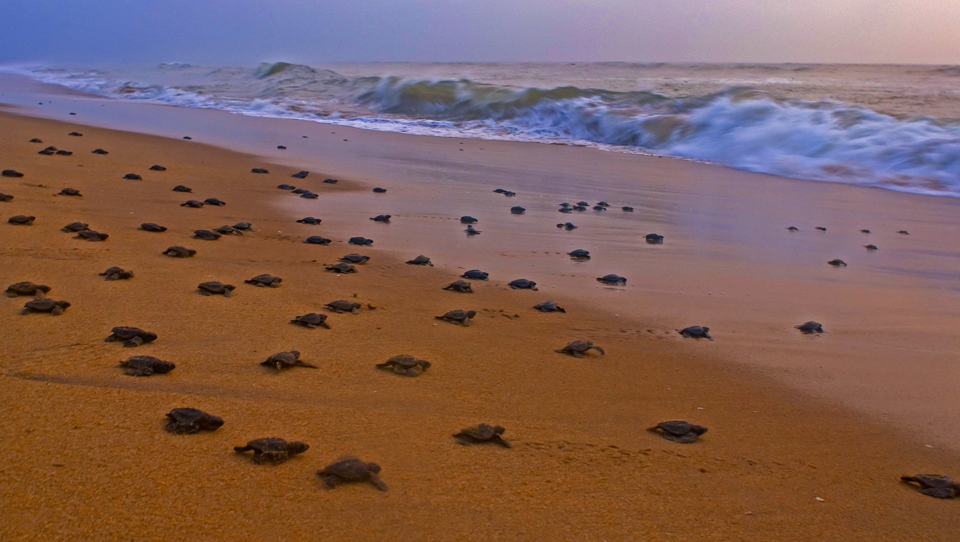 Arribada: The Mystery of the Olive Ridley Turtle Migration