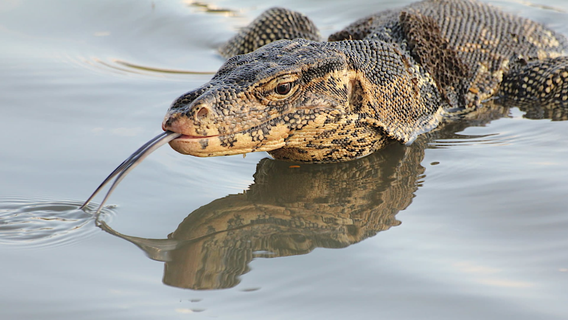 Living Dragons: Weapons, Defences and the Water Monitor Lizard