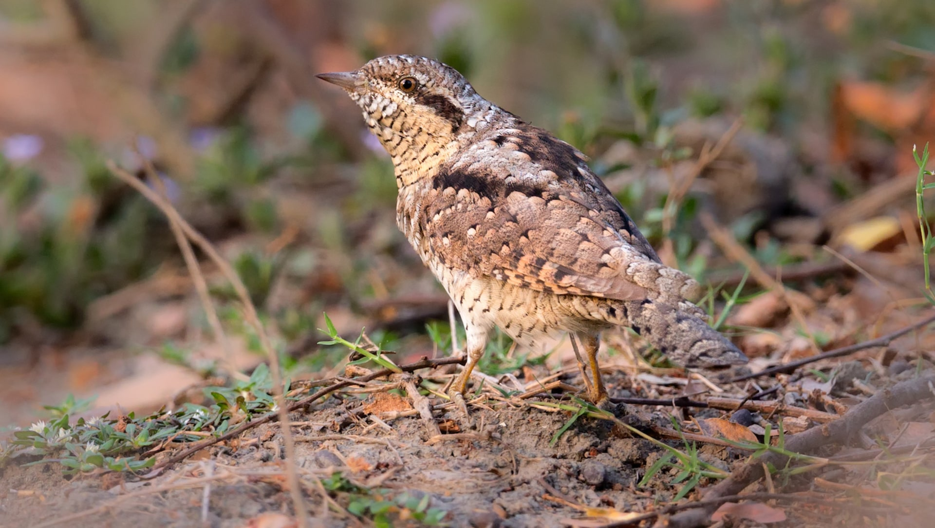Nymphs, Love Spells, and the Eurasian Wryneck