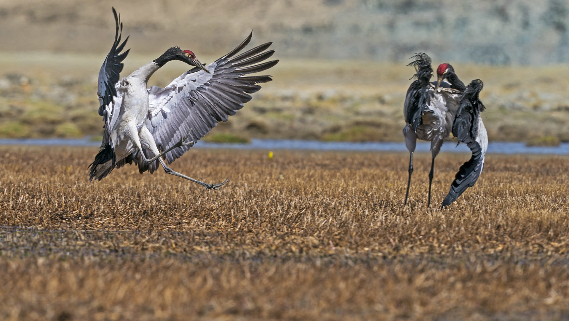 Dance of the Black-necked Cranes in Ladakh