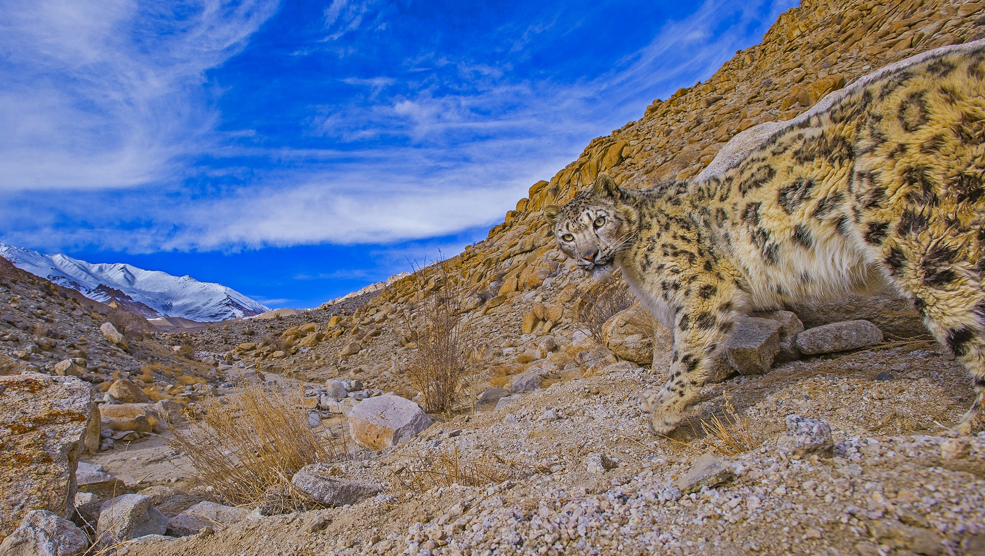 The Big Melt: Snow Leopards and Climate Change
