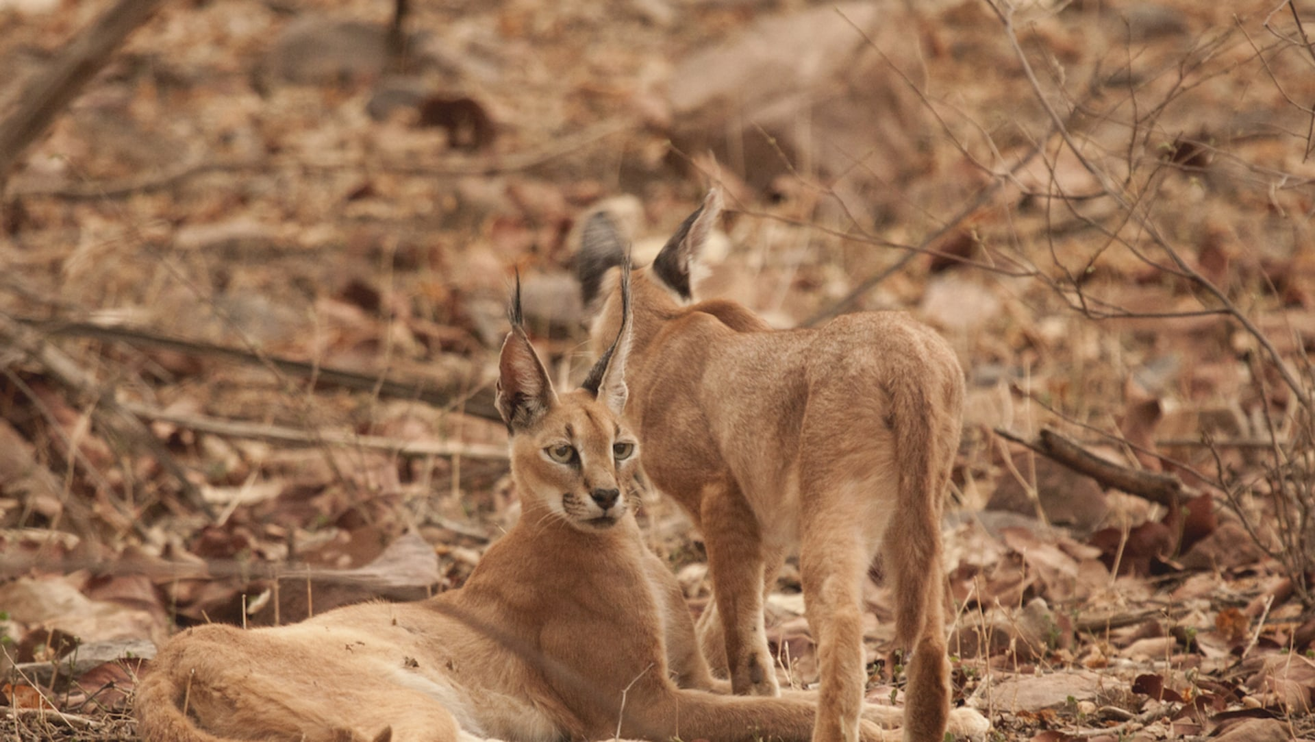 Where the Wild Cat Roams: On Spotting the Black-Eared One