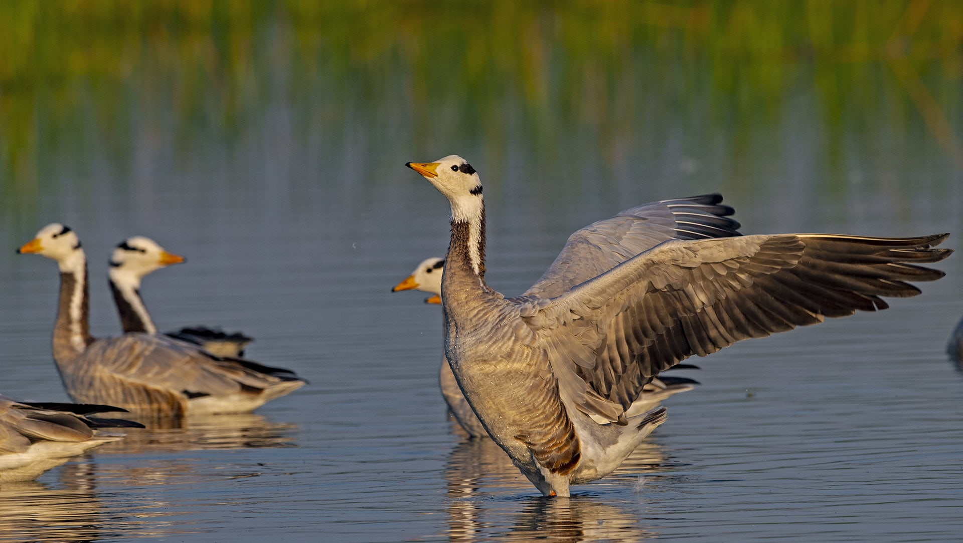 Why Rann When you can fly: The Bar-Headed Geese of Gujarat