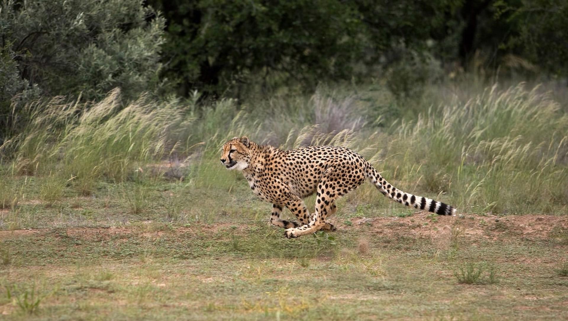 Return of the Cheetah: But Where Will it Roam?