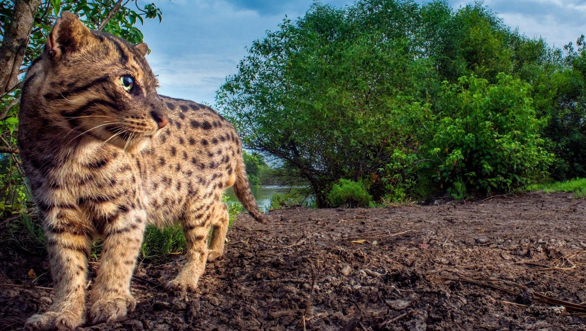 The Fishing Cat in Laxmi's Backyard