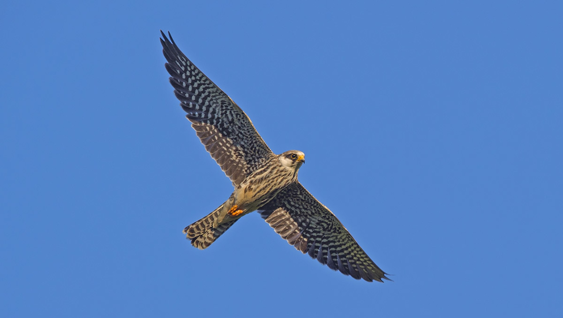 Flight of the Falcons: Migration, Conservation, and Great Resilience